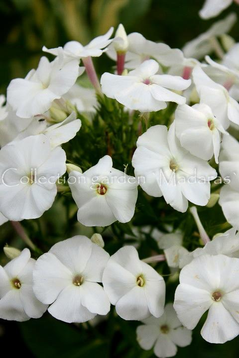 Phlox paniculata `Adessa White'