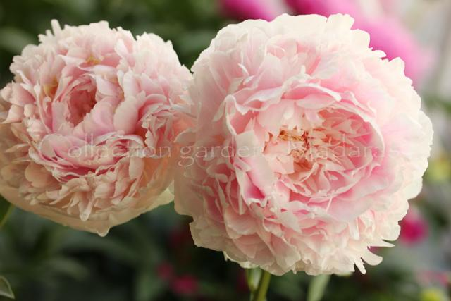 `Klehm's Pink Unknown`