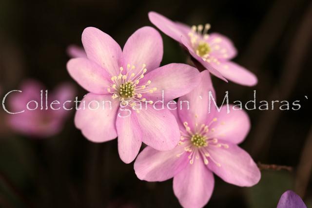 Hepatica nobilis `Rožu Medus`